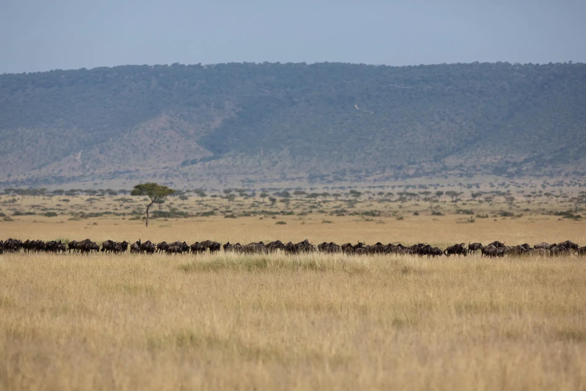 LIne of wildebeest