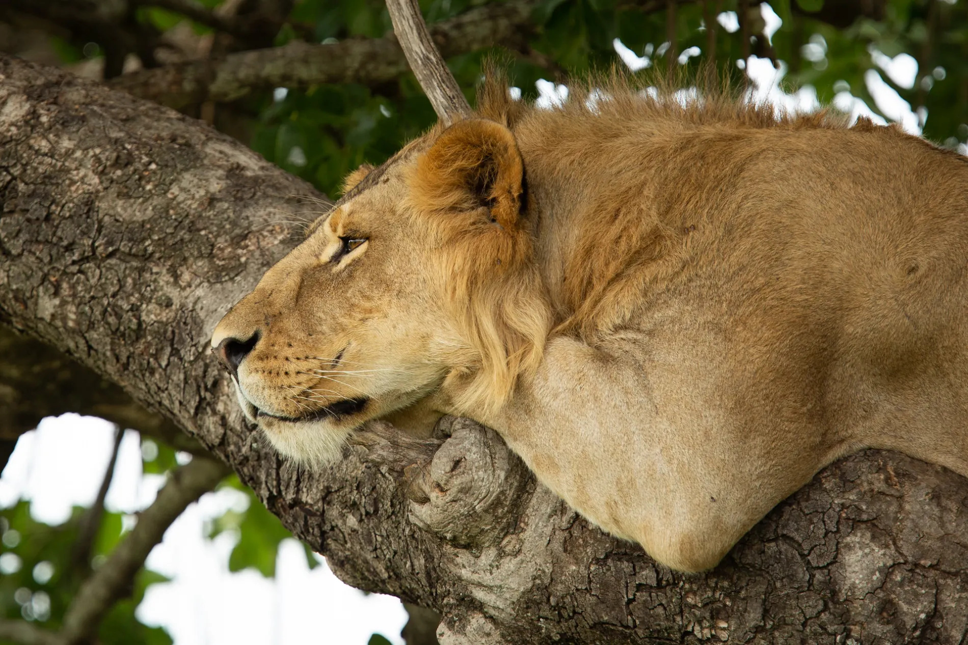 Lion in tree side on