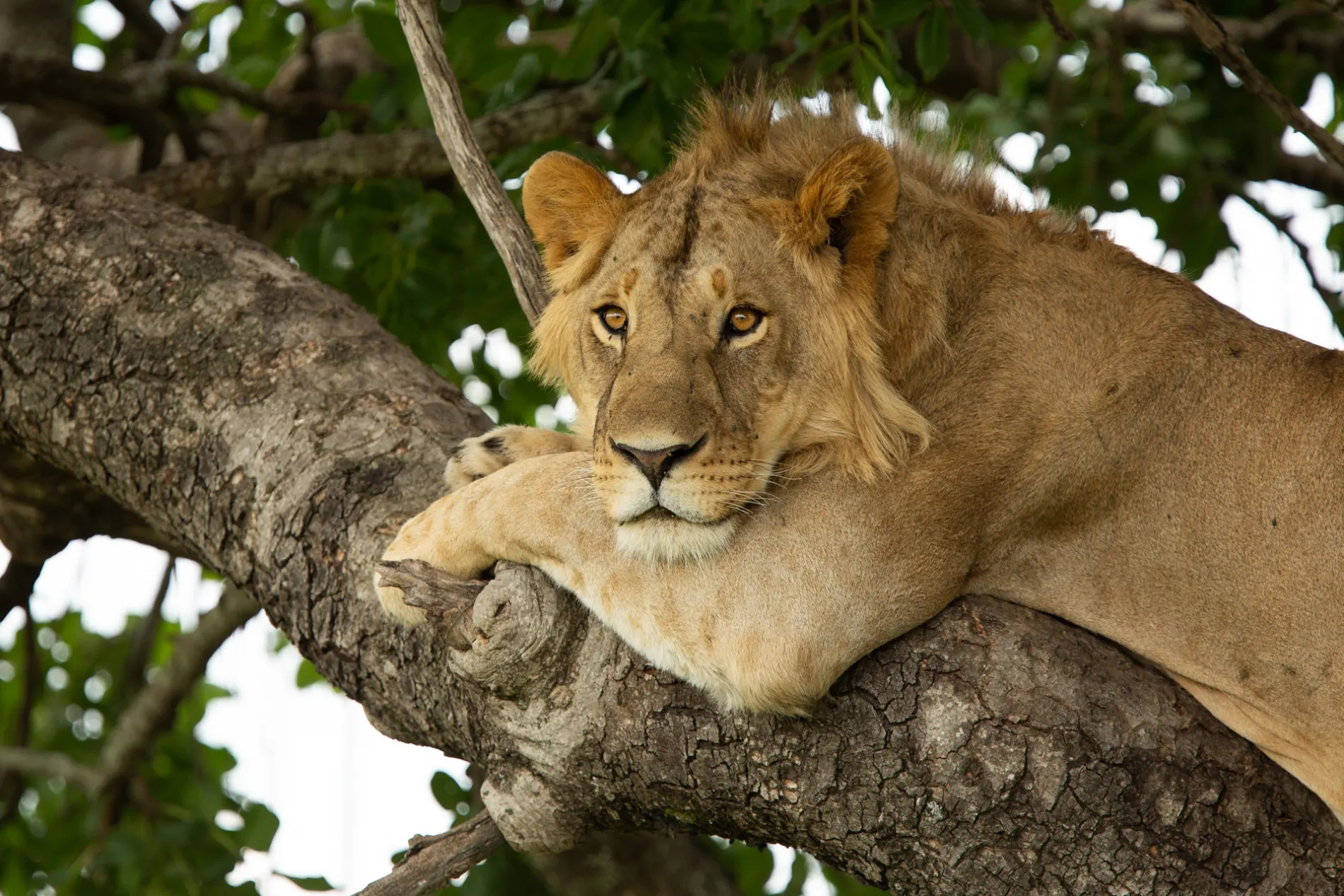LIon in tree with arm