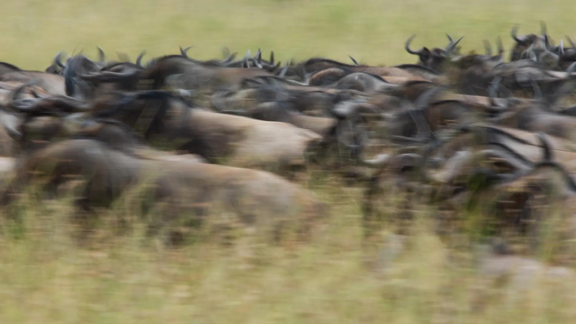 Wildebeest blur