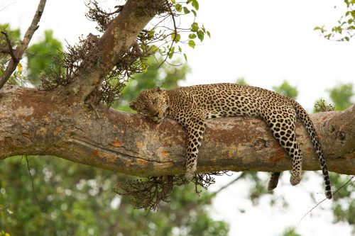 A leopard doses happily on a warm afternoon in the Mara - Adam Bannister