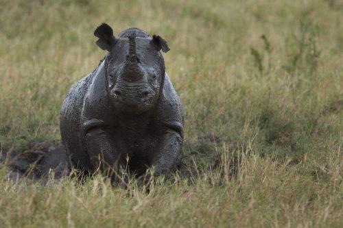 A black rhino enjoys a mud bath