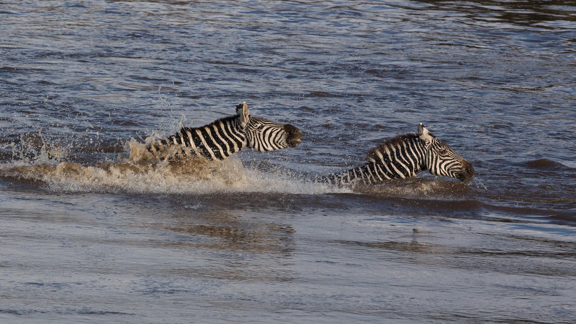 Zebras and crocodile