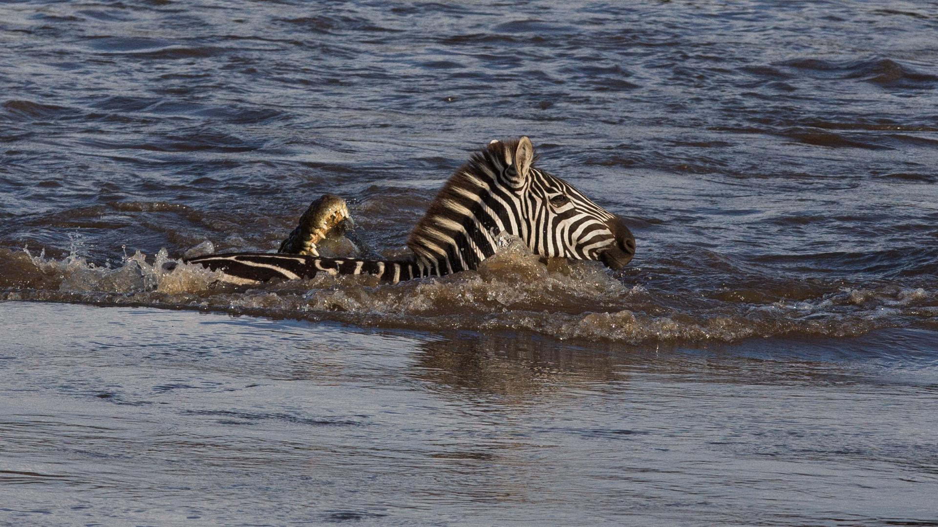 Crocodile catching zebra