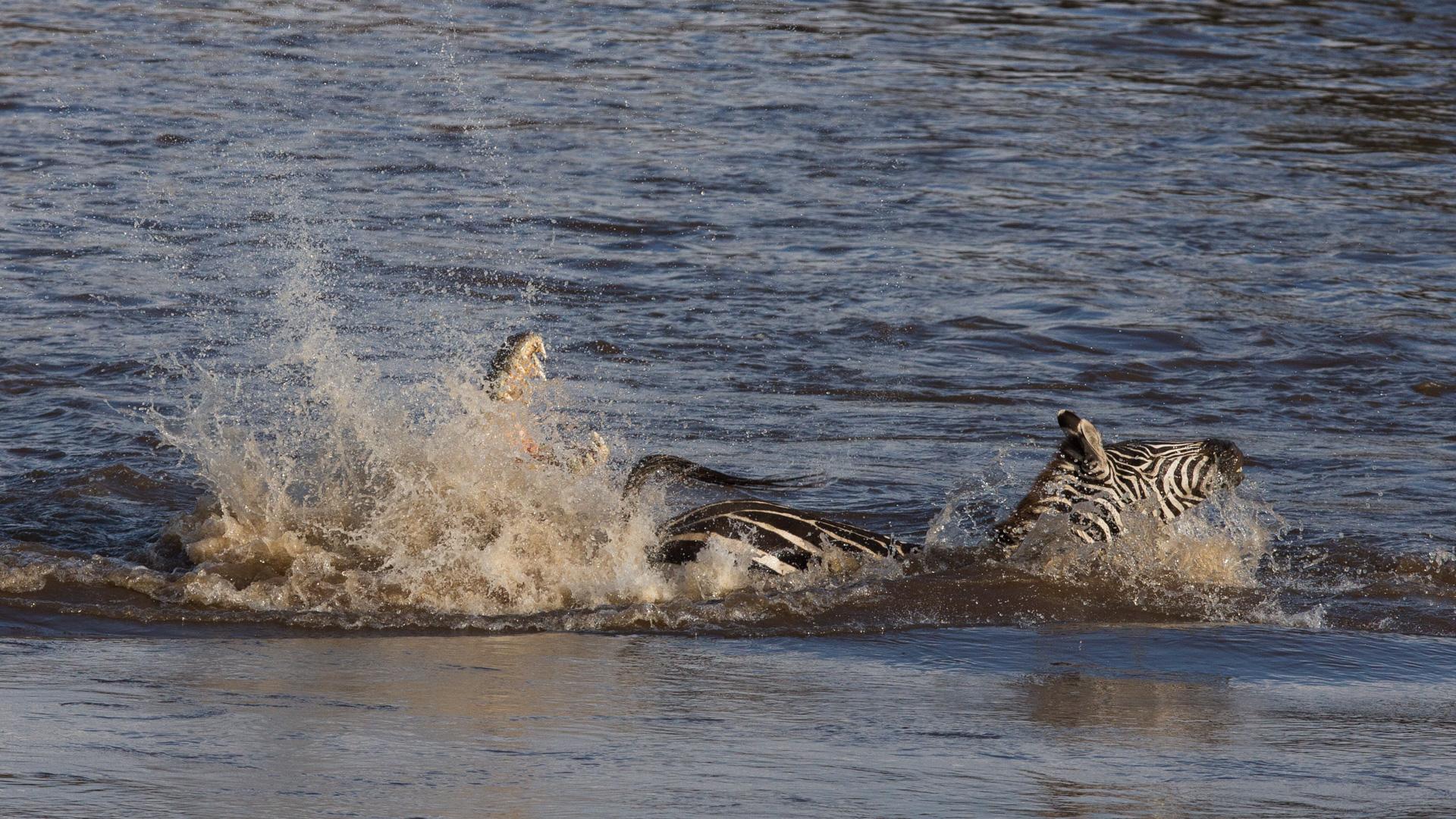 Zebra kicks crocodile backwards