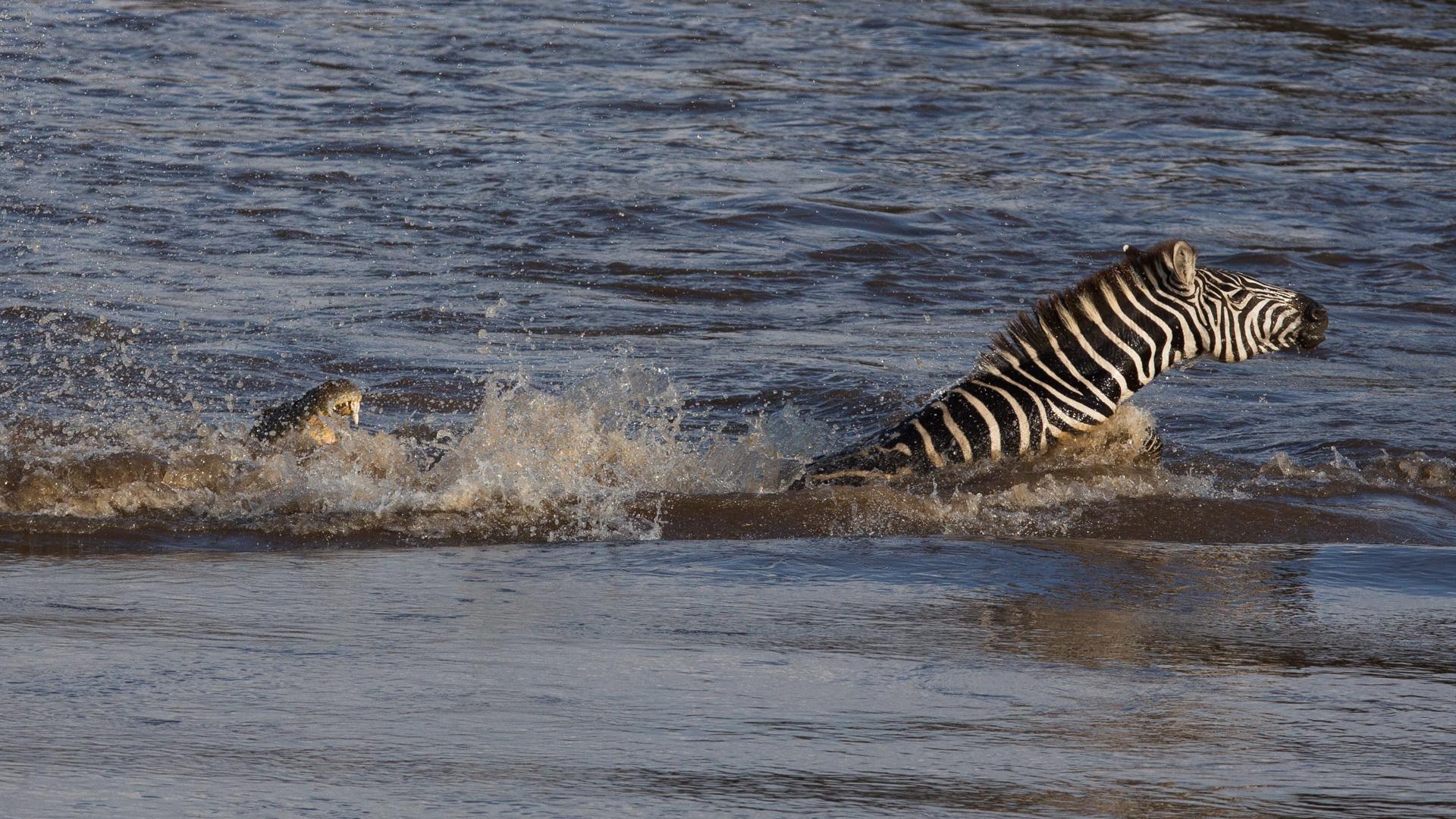 Zebra fighting crocodile