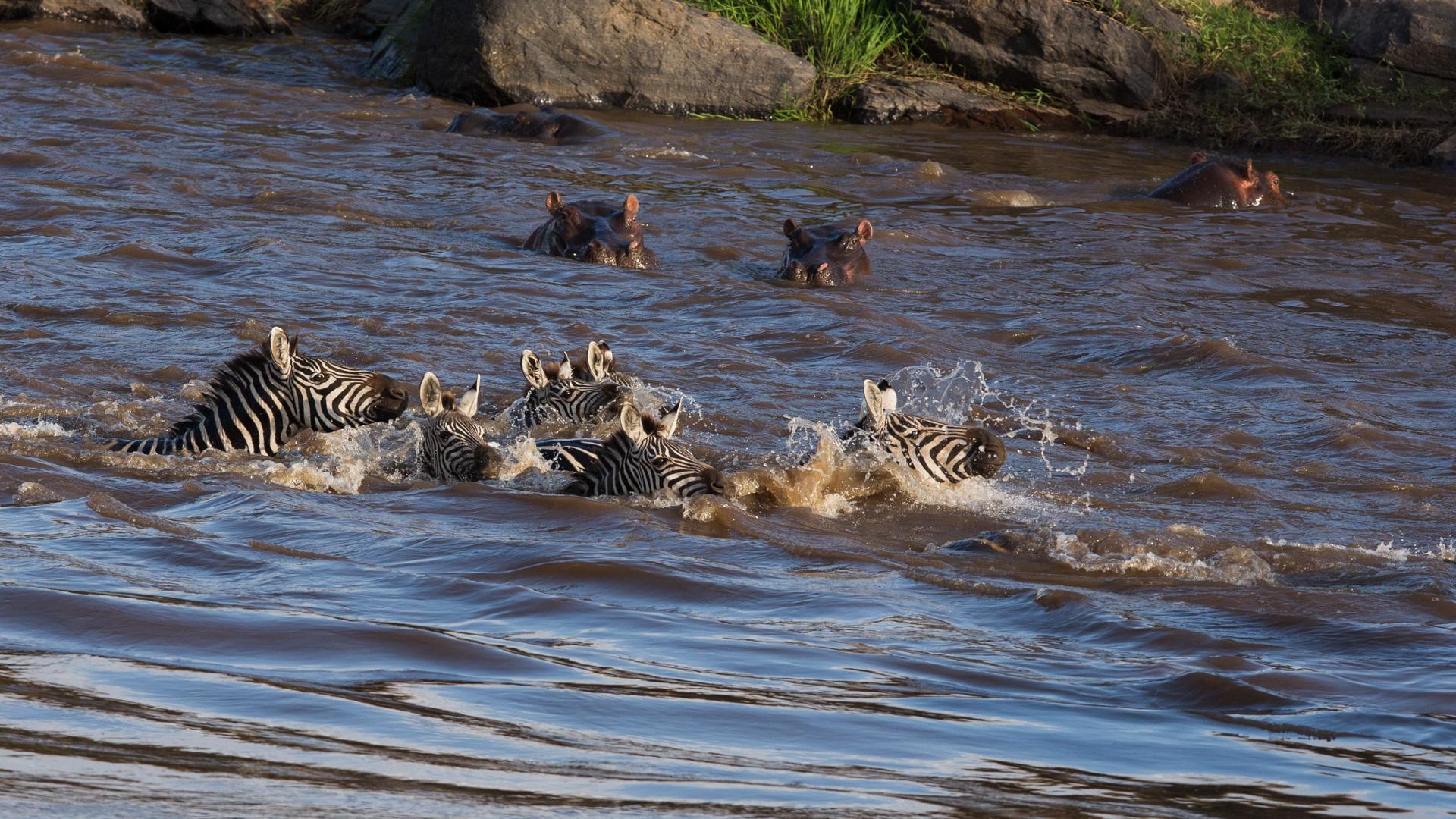 zebra take down
