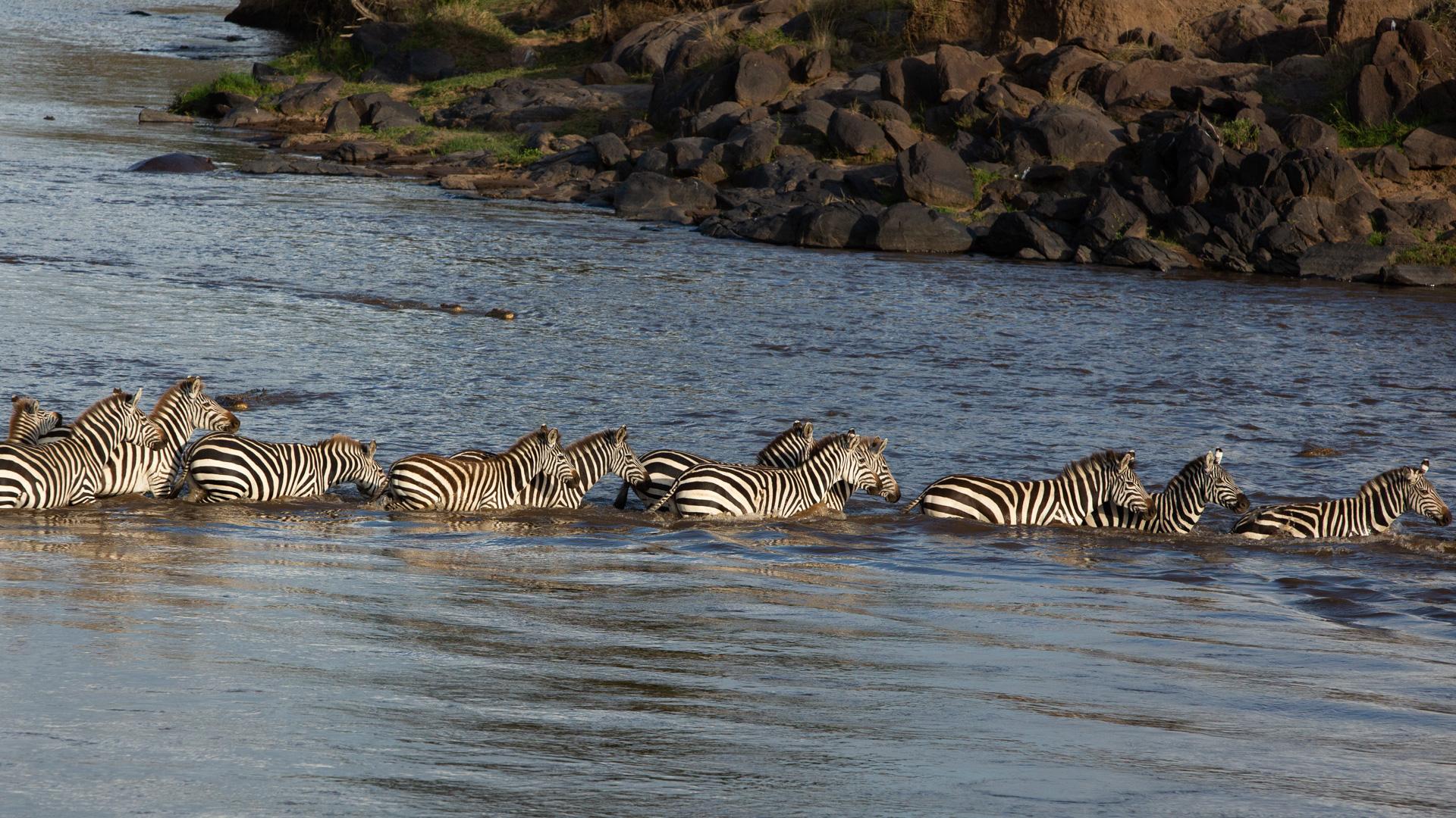 zebras vs crocs