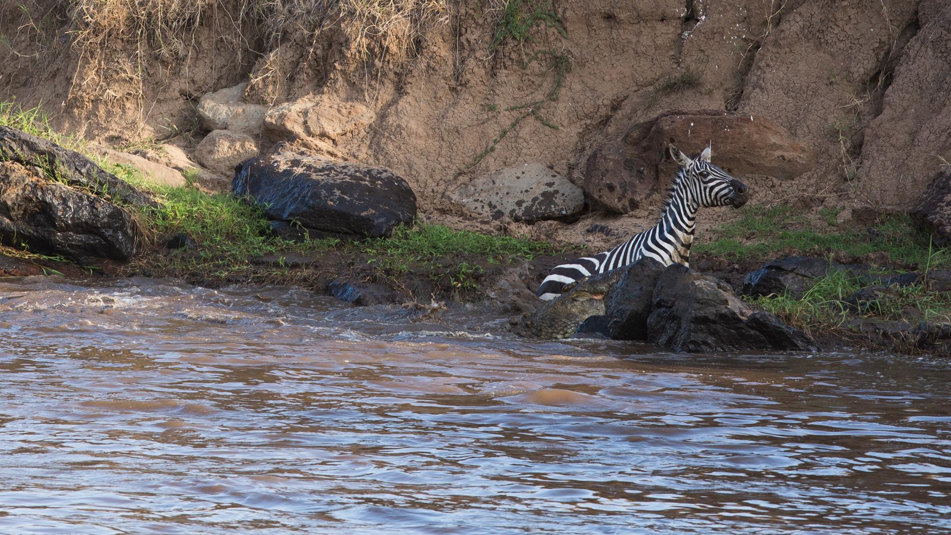 Zebra loses battle to crocodiles