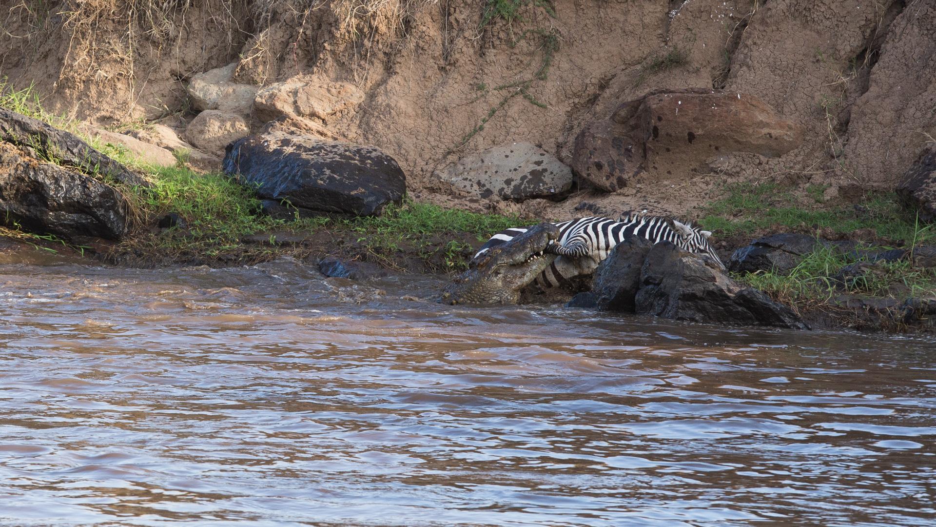 Crocodiles take down zebra