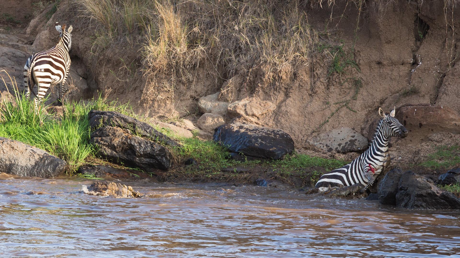 Zebras escaping