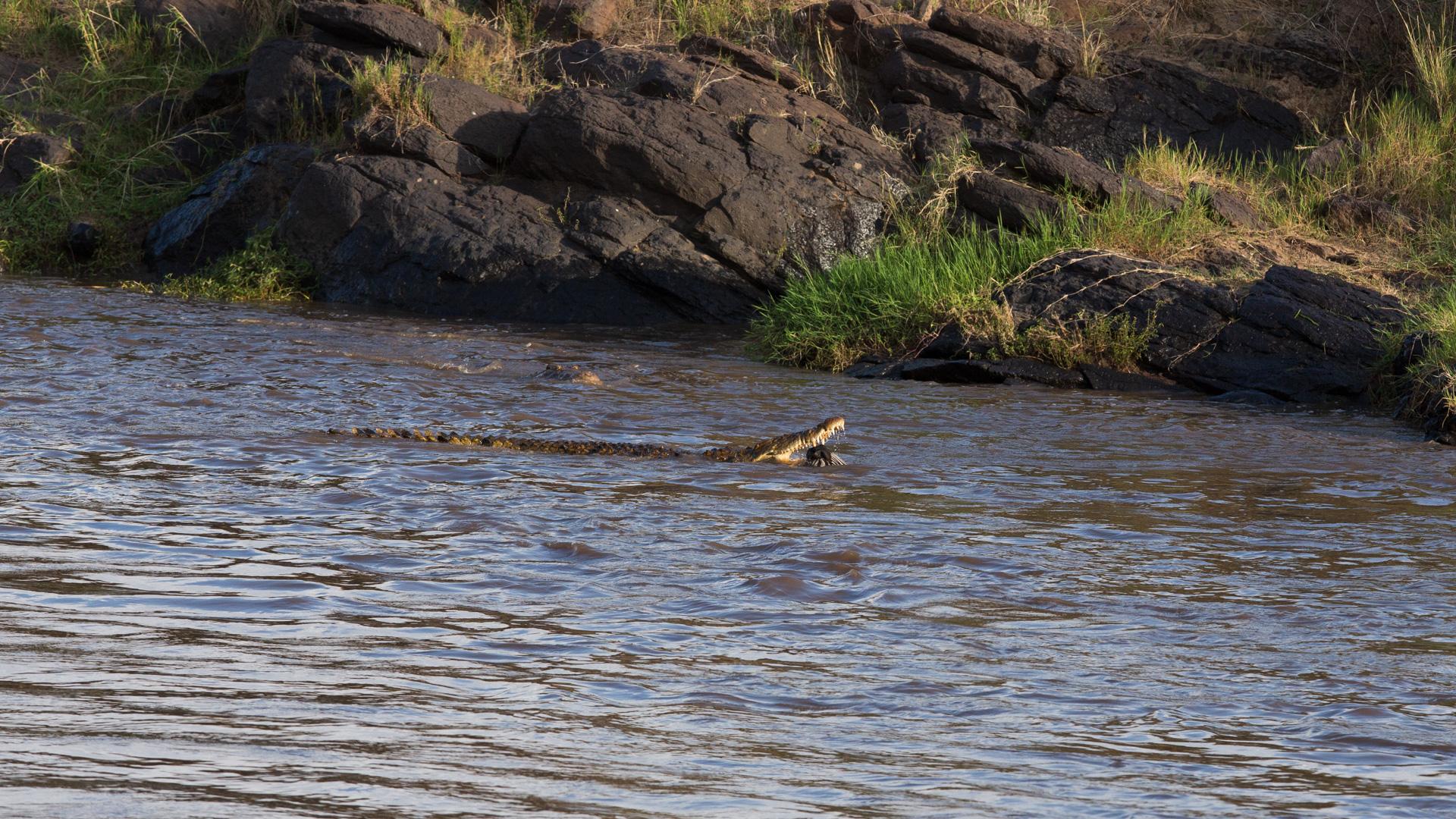 crocodile drowns zebra