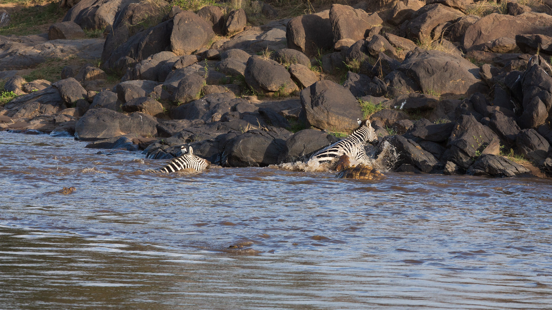 More crocodiles and zebra