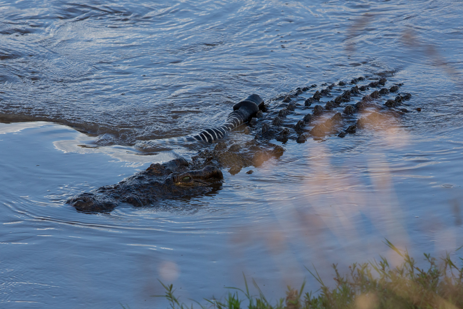 crocodile wins
