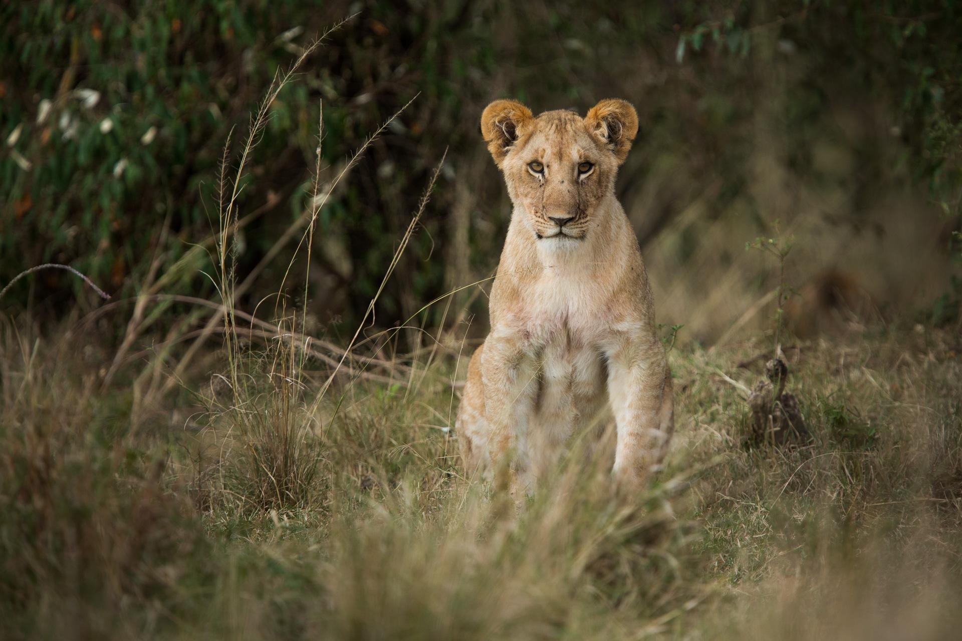 lion cub sitting