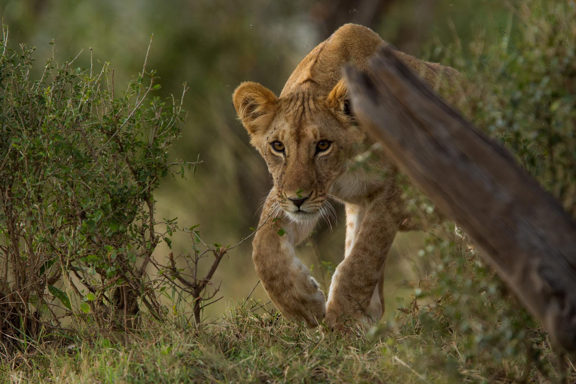 lion cub stalk