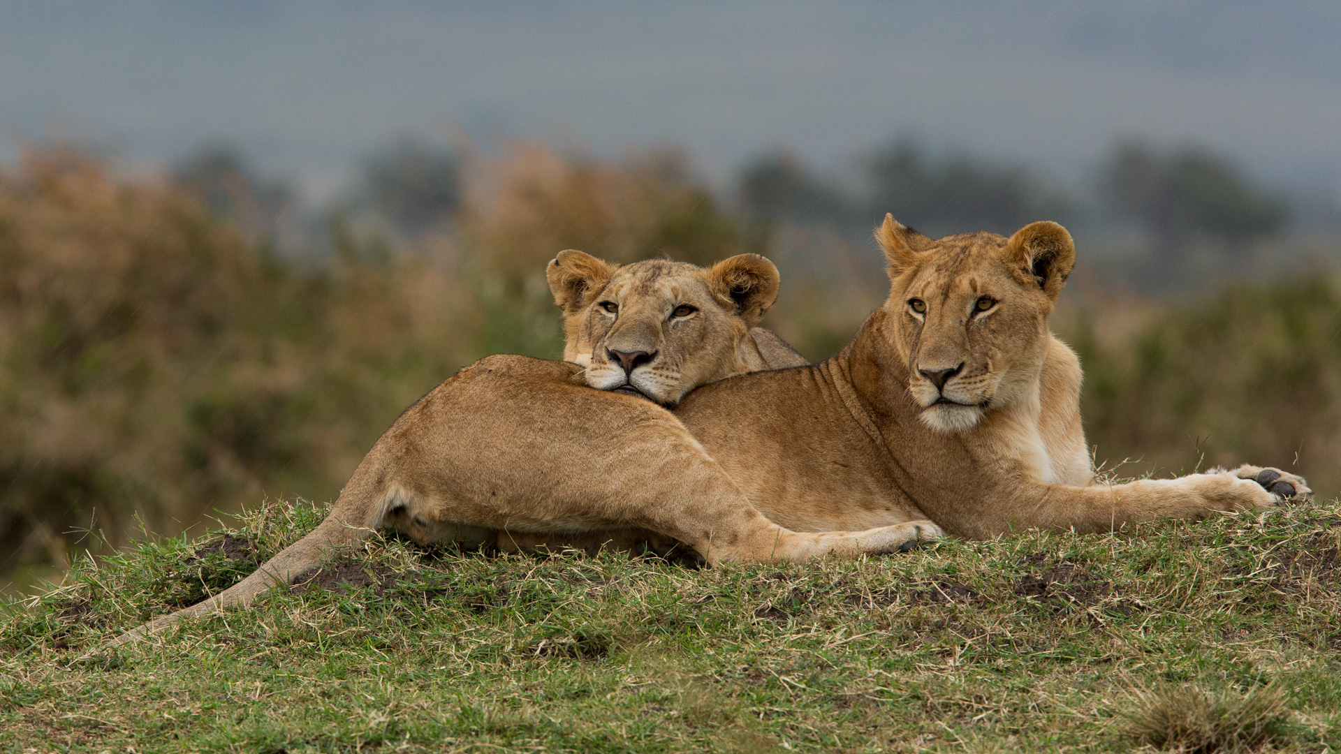 Two lions cuddle on mound
