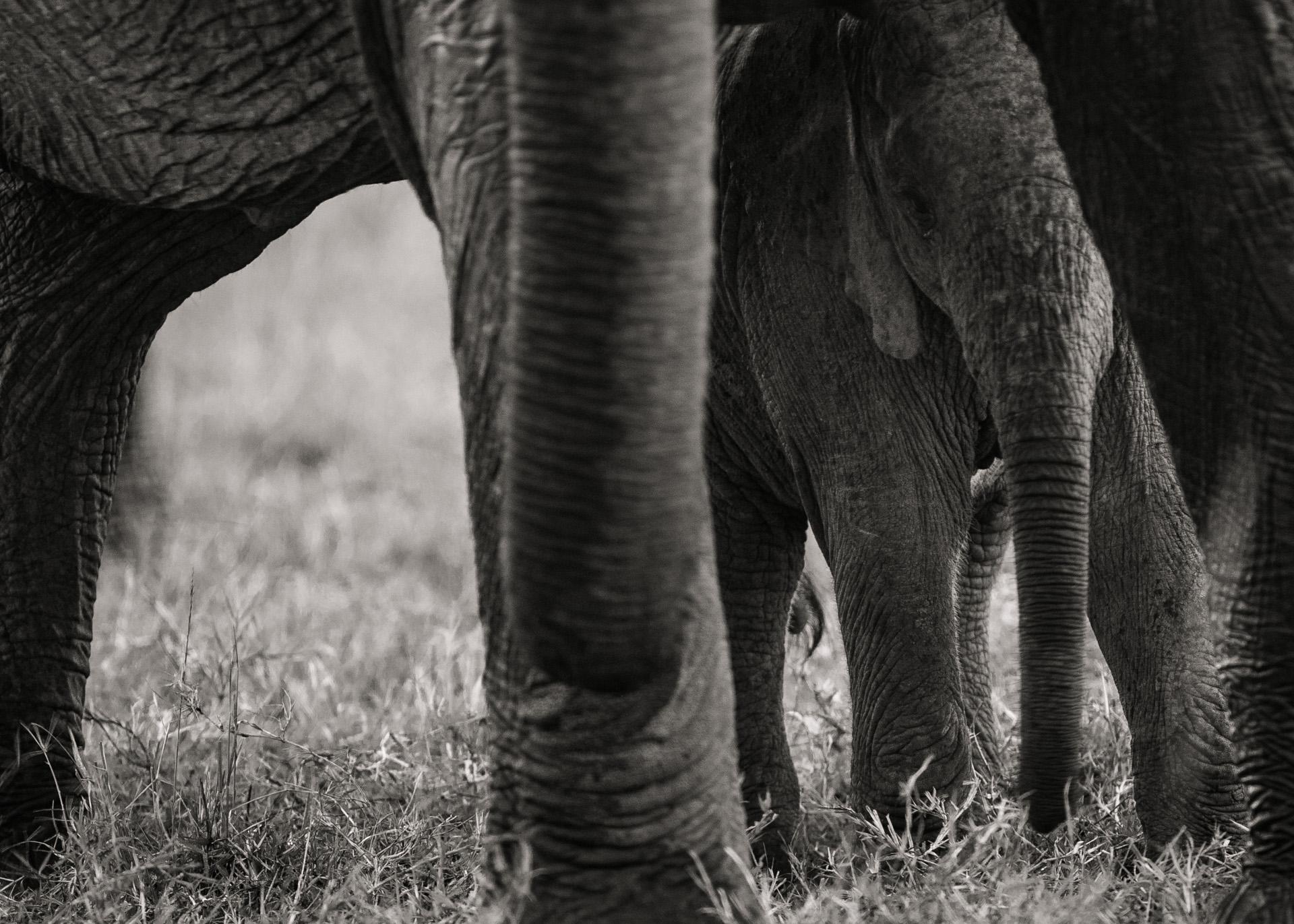 Elephant under mom