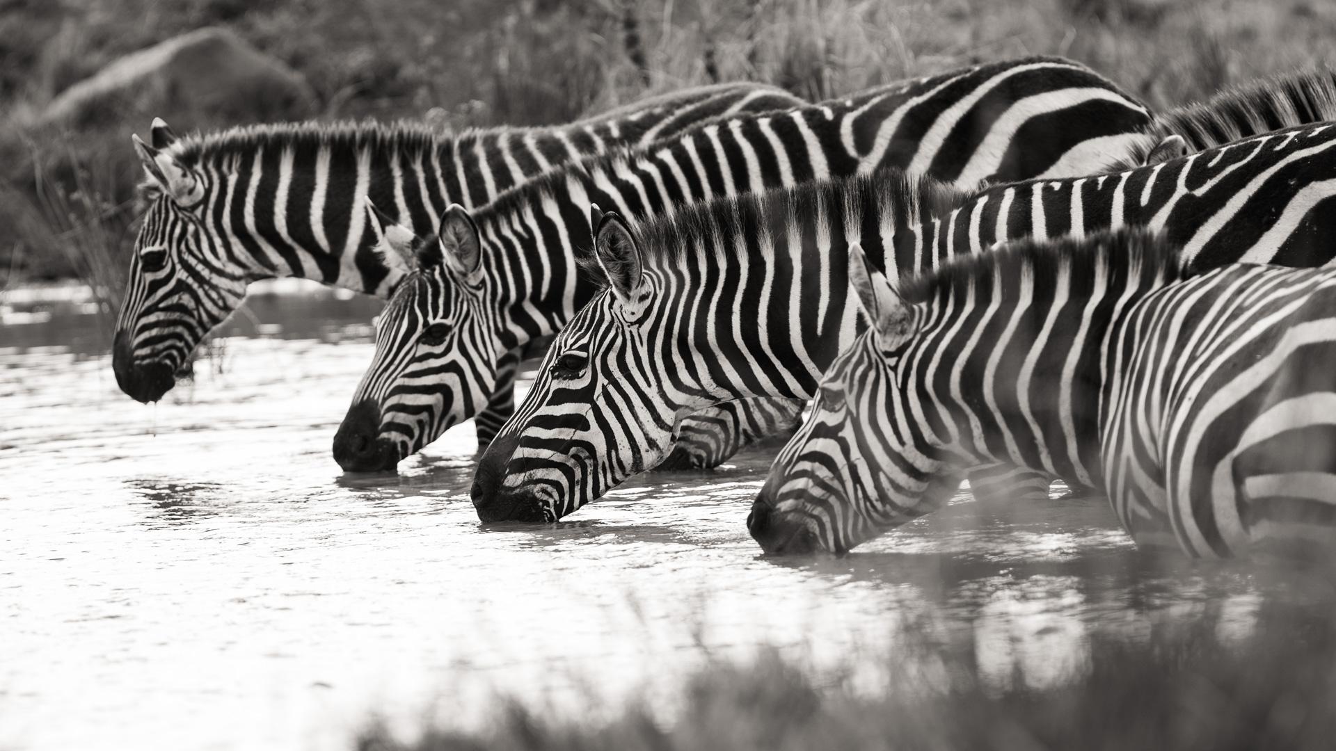 More zebra drinking