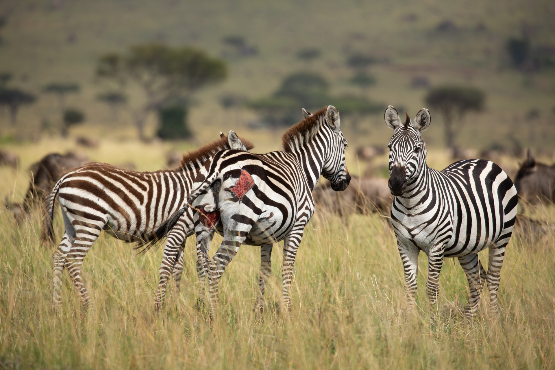 Wounded Zebra