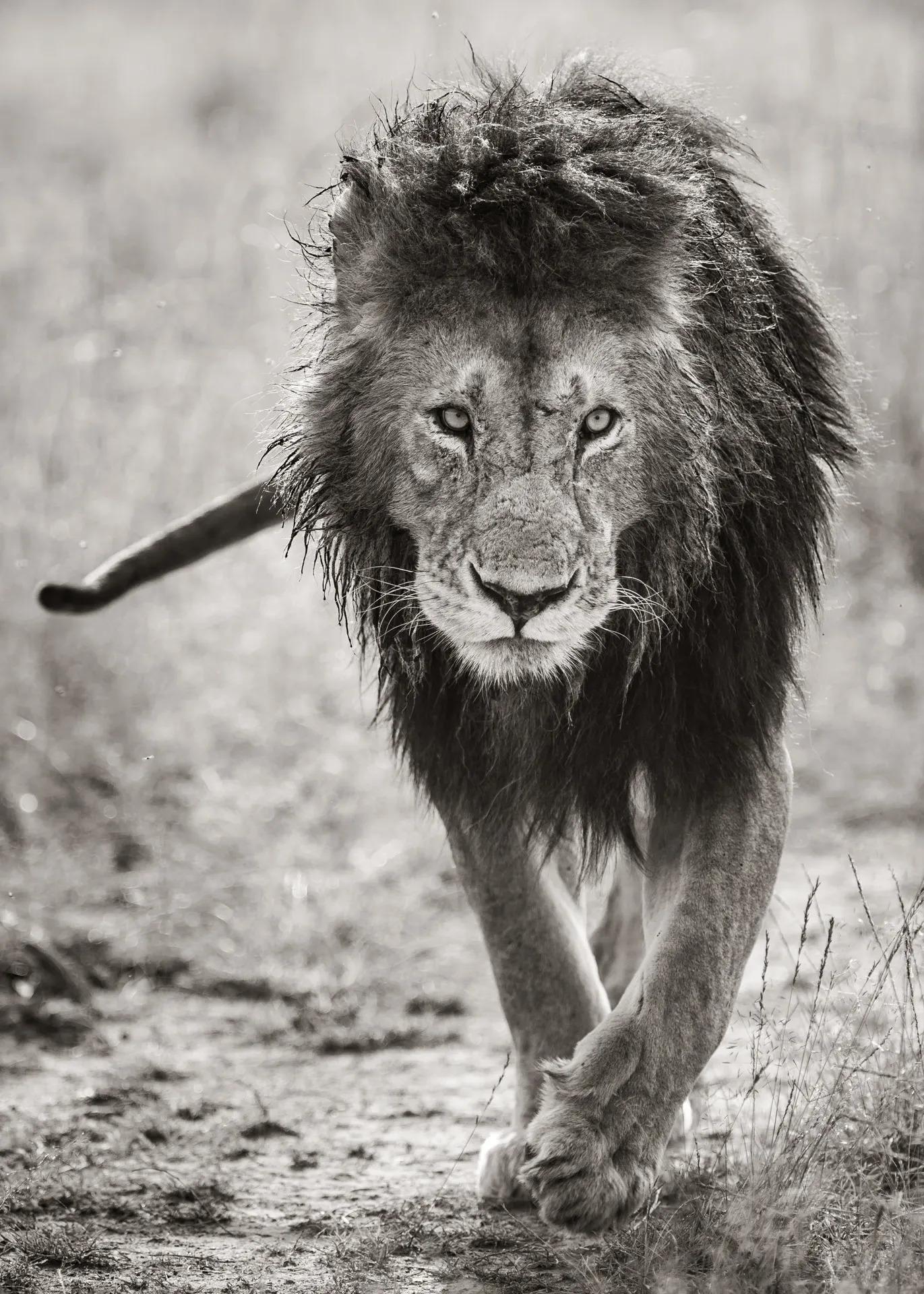 Male Lion BW