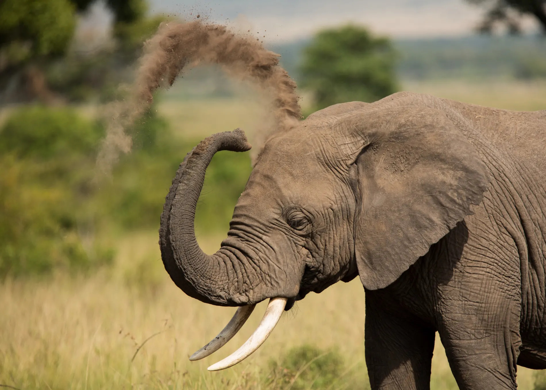 Elephant dustbath