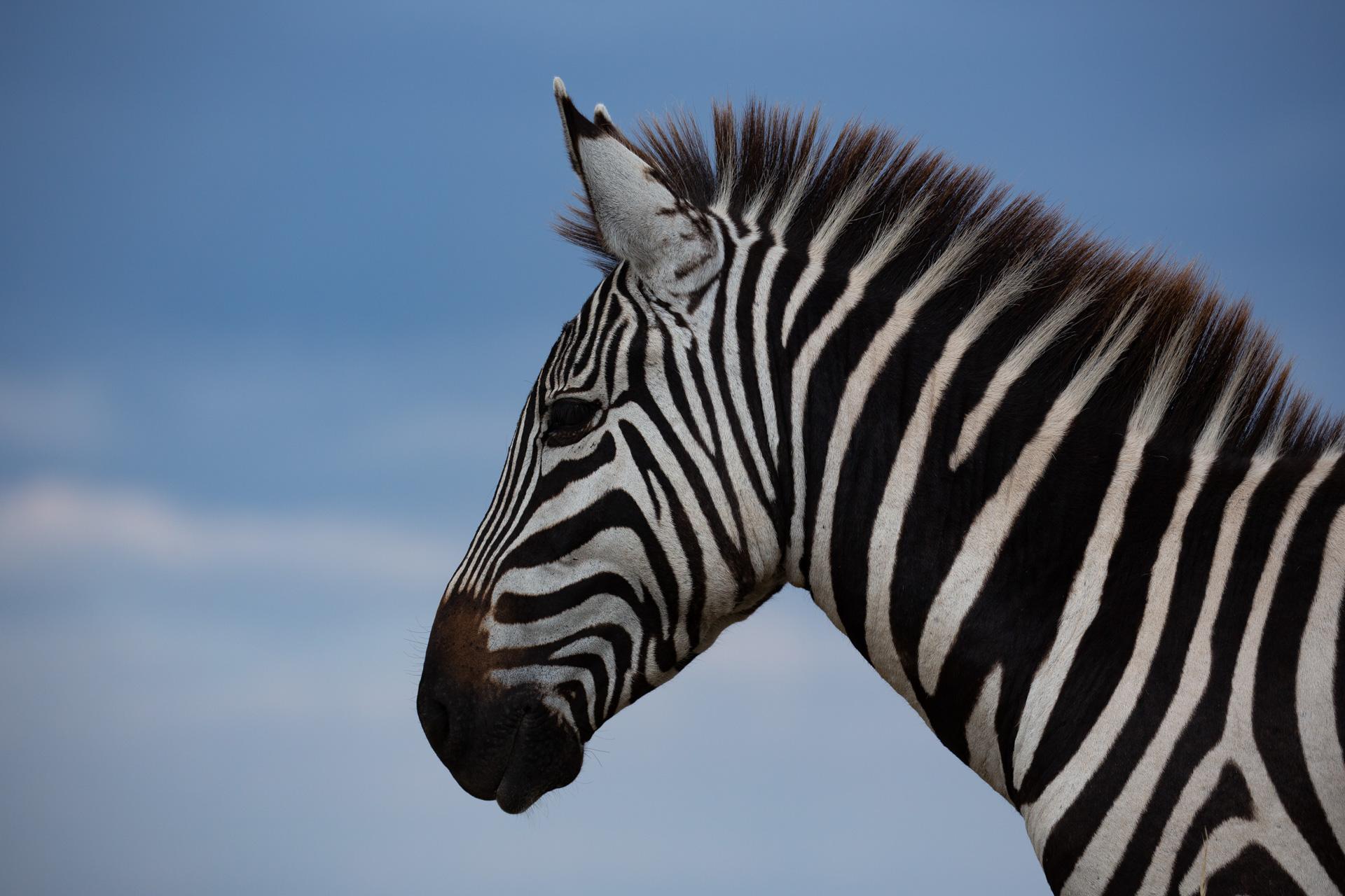 zebra and blue skies