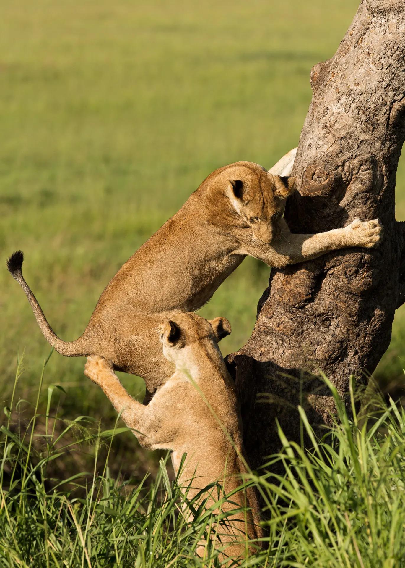Lion climbing tree 3