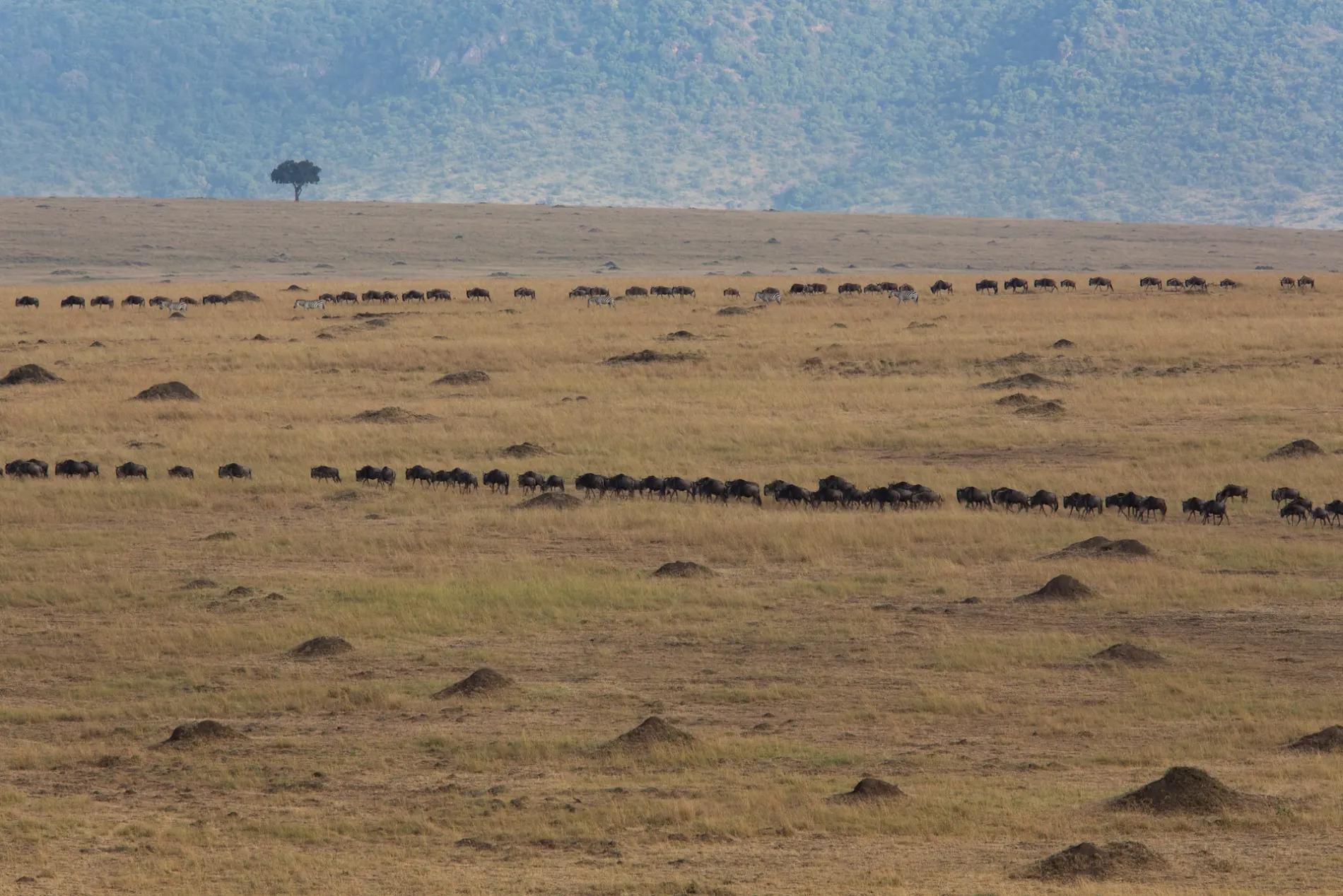 Wilde herd