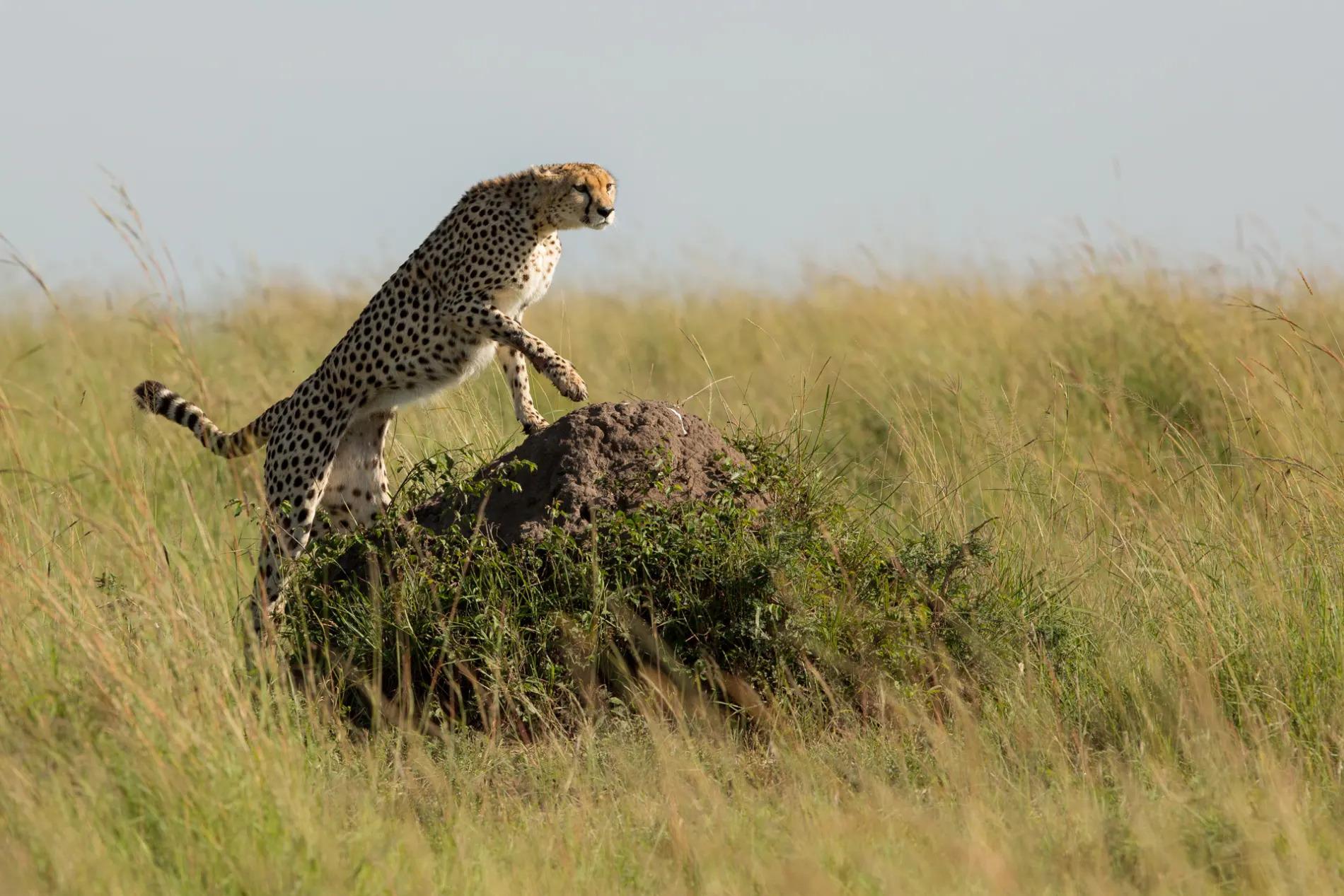 Cheetah climbing on mound