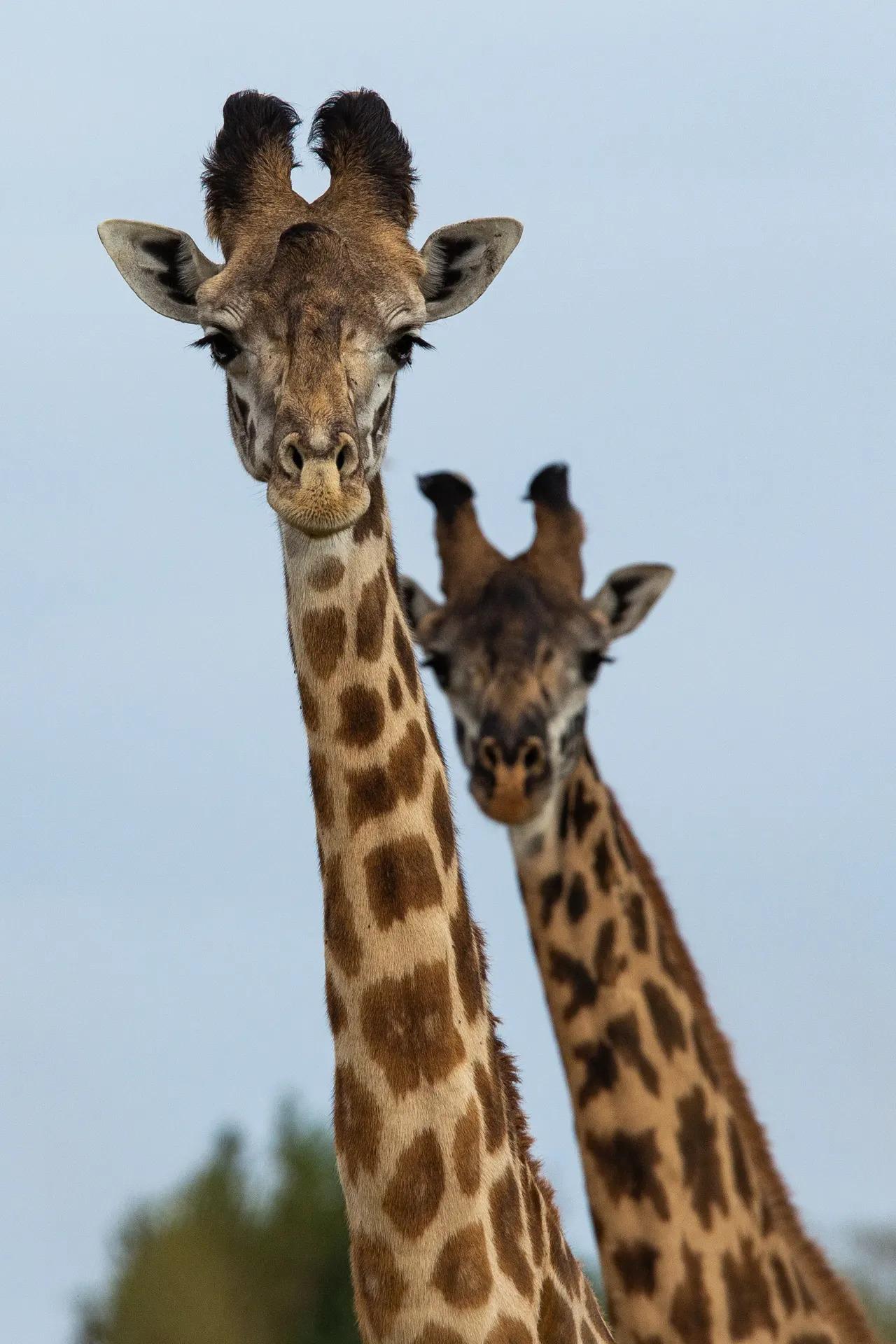 Giraffe 2 necks
