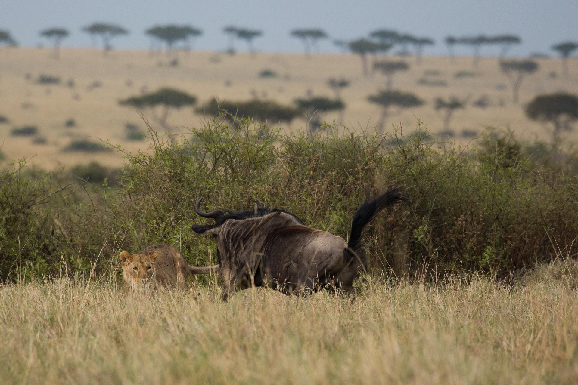 Lion and wildebeest