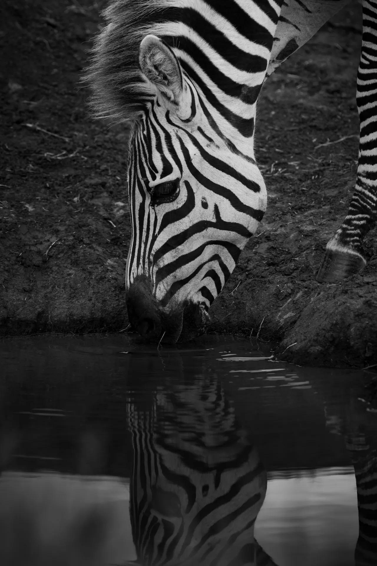Zebra drinks