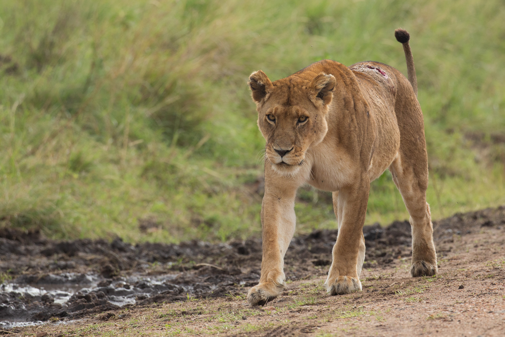 Lioness with wound
