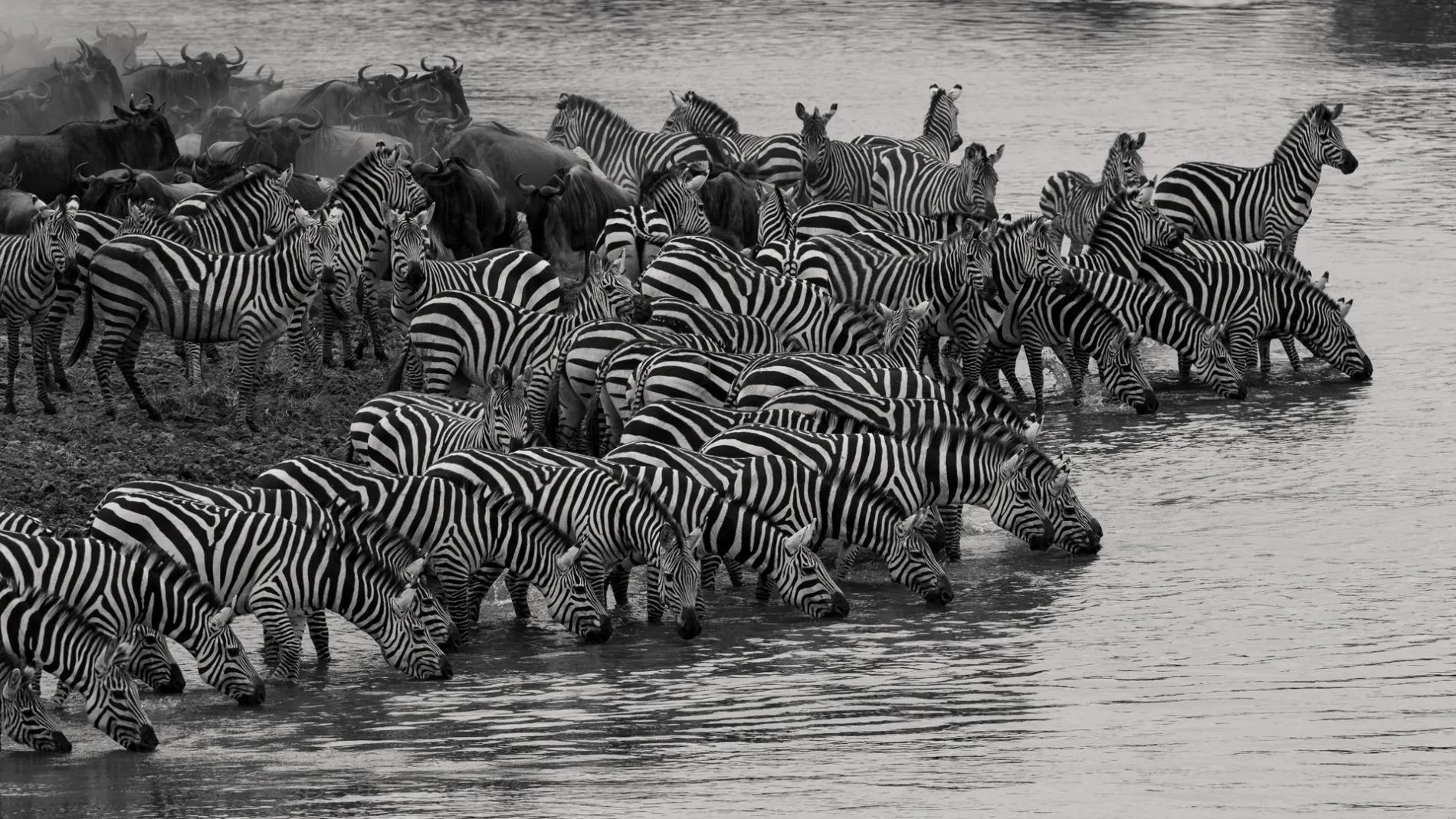 Zebra herd drinking-Edit