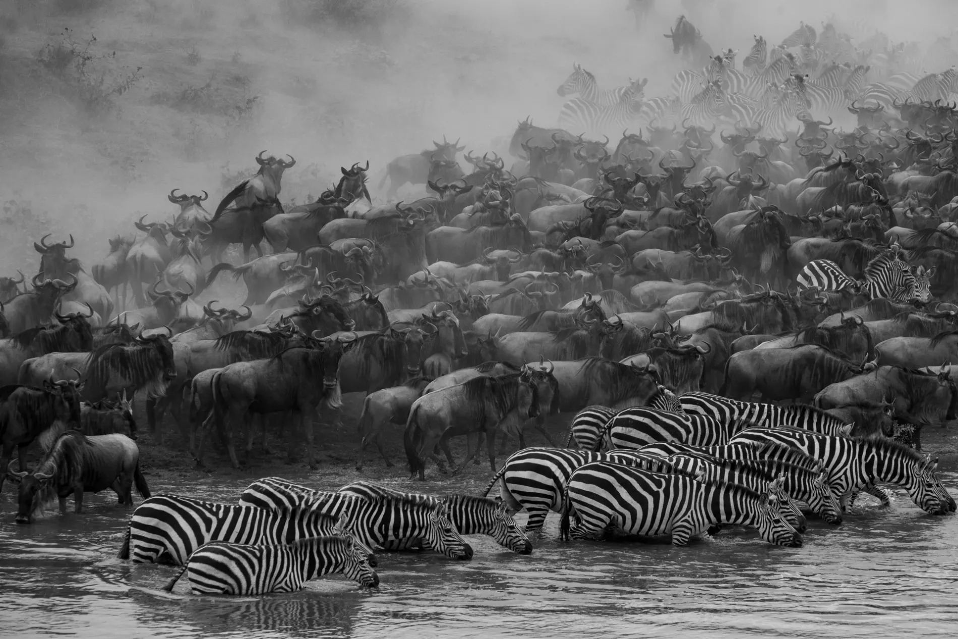 Zebra and wild in river