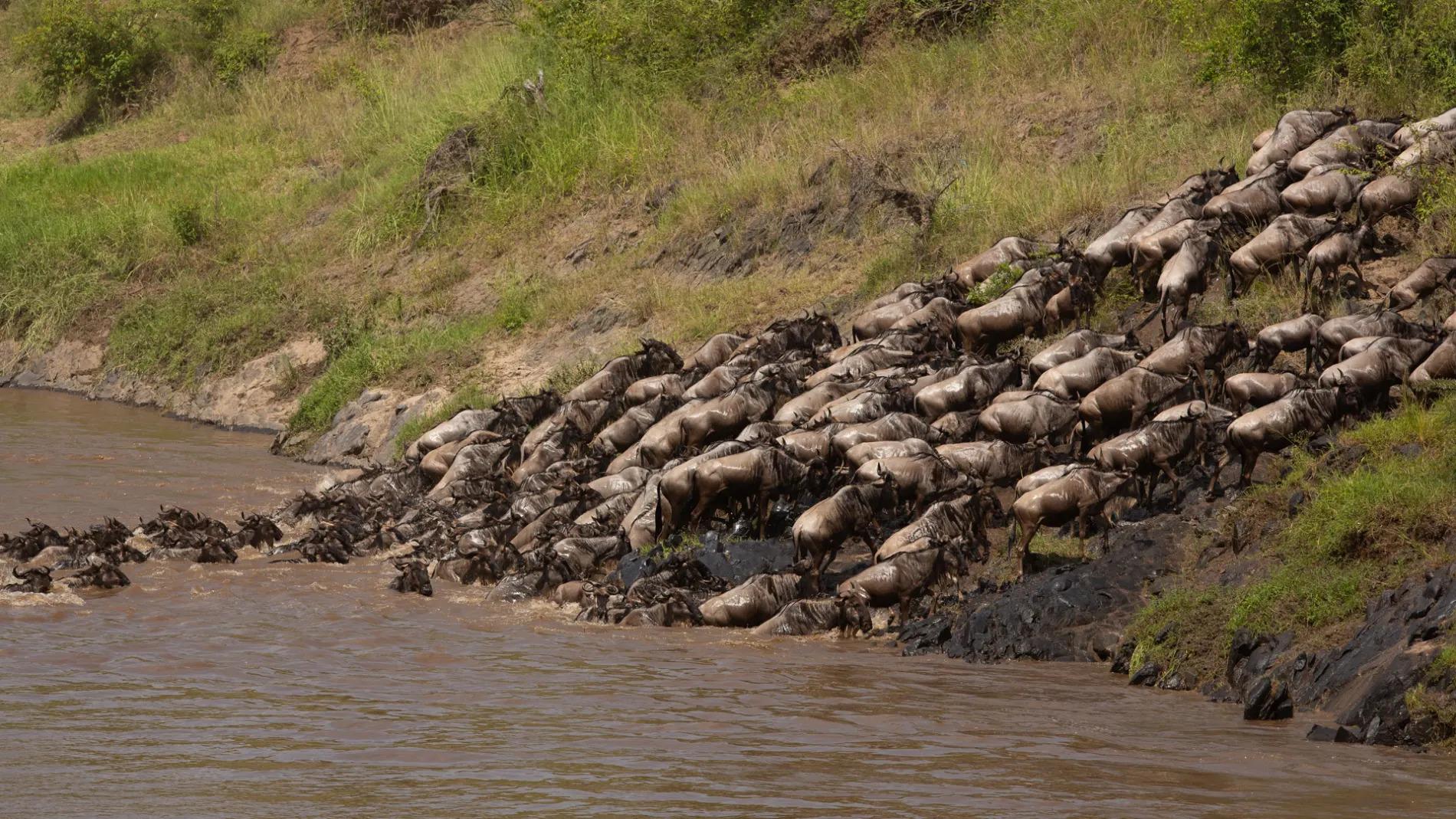Wildebeest on river bank