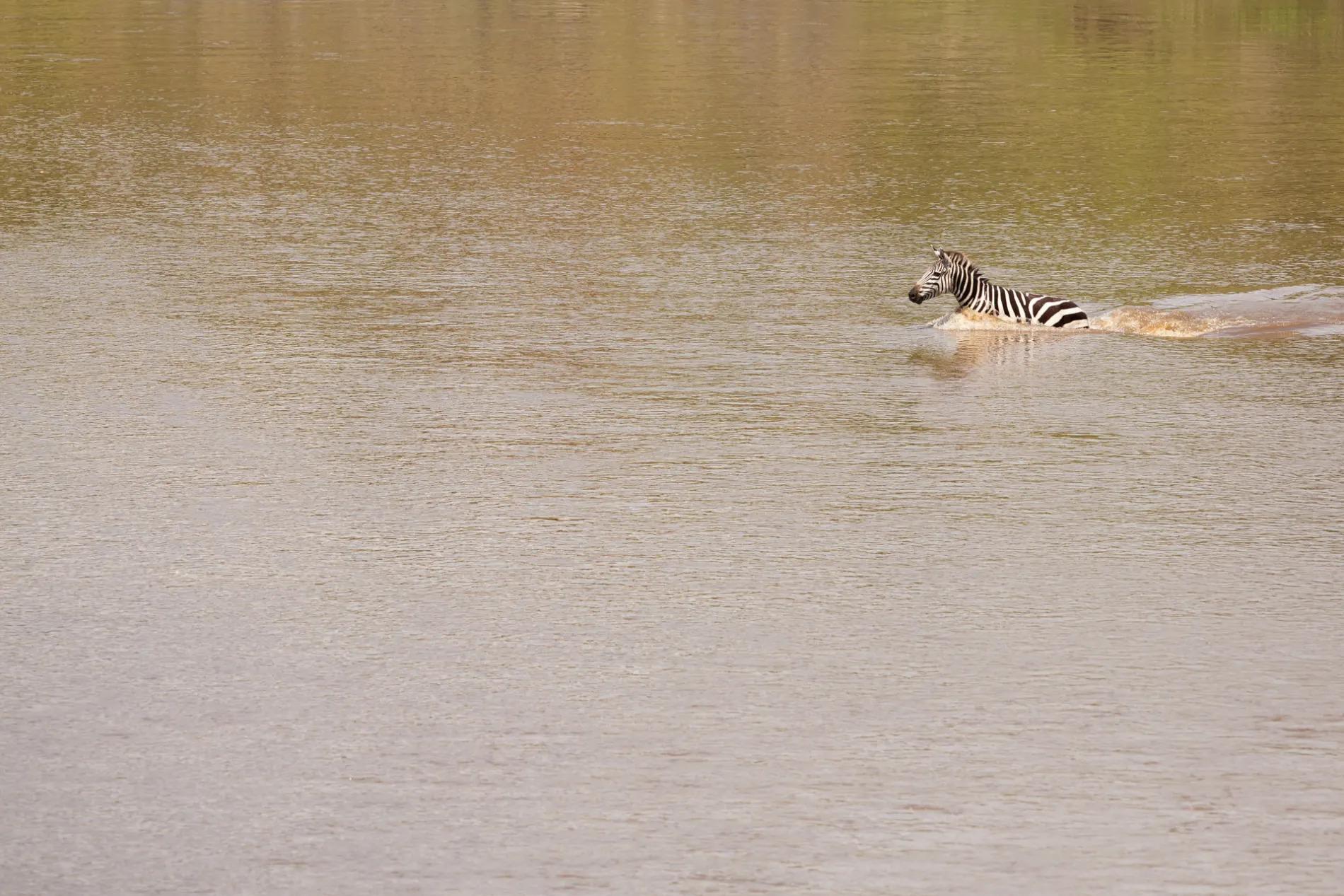 Zebra swimming