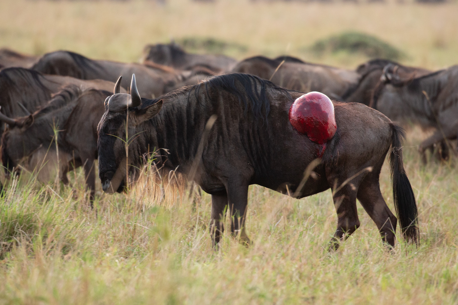 Wounded Wildebeest