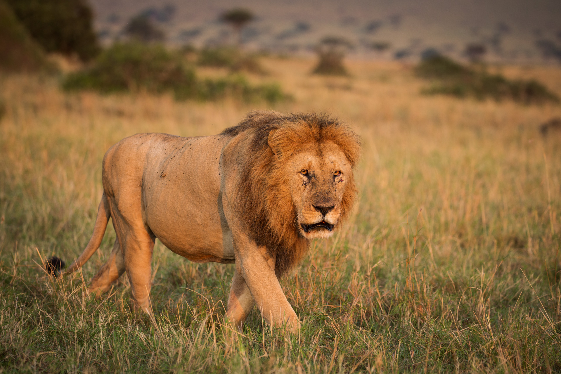 male lion towards camera
