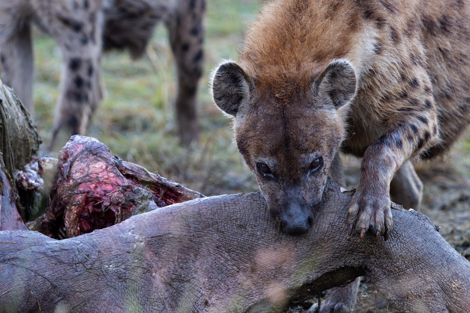 Hyena and hippo kill