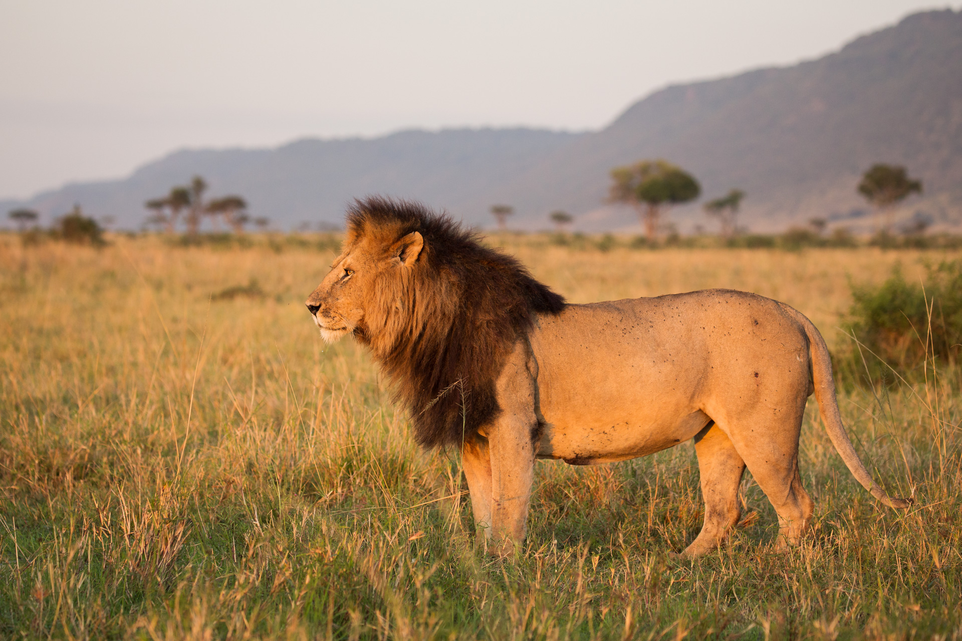 male lion and escarpment