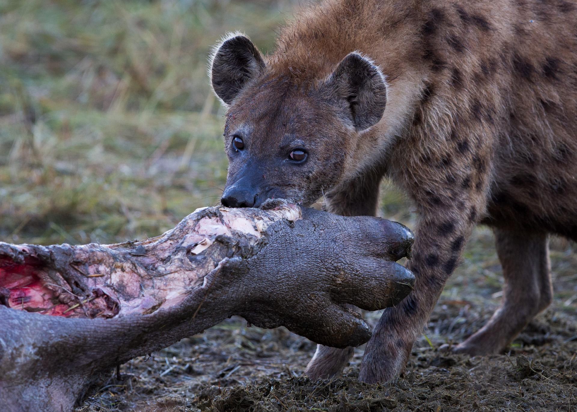 Hyena & hippo foot