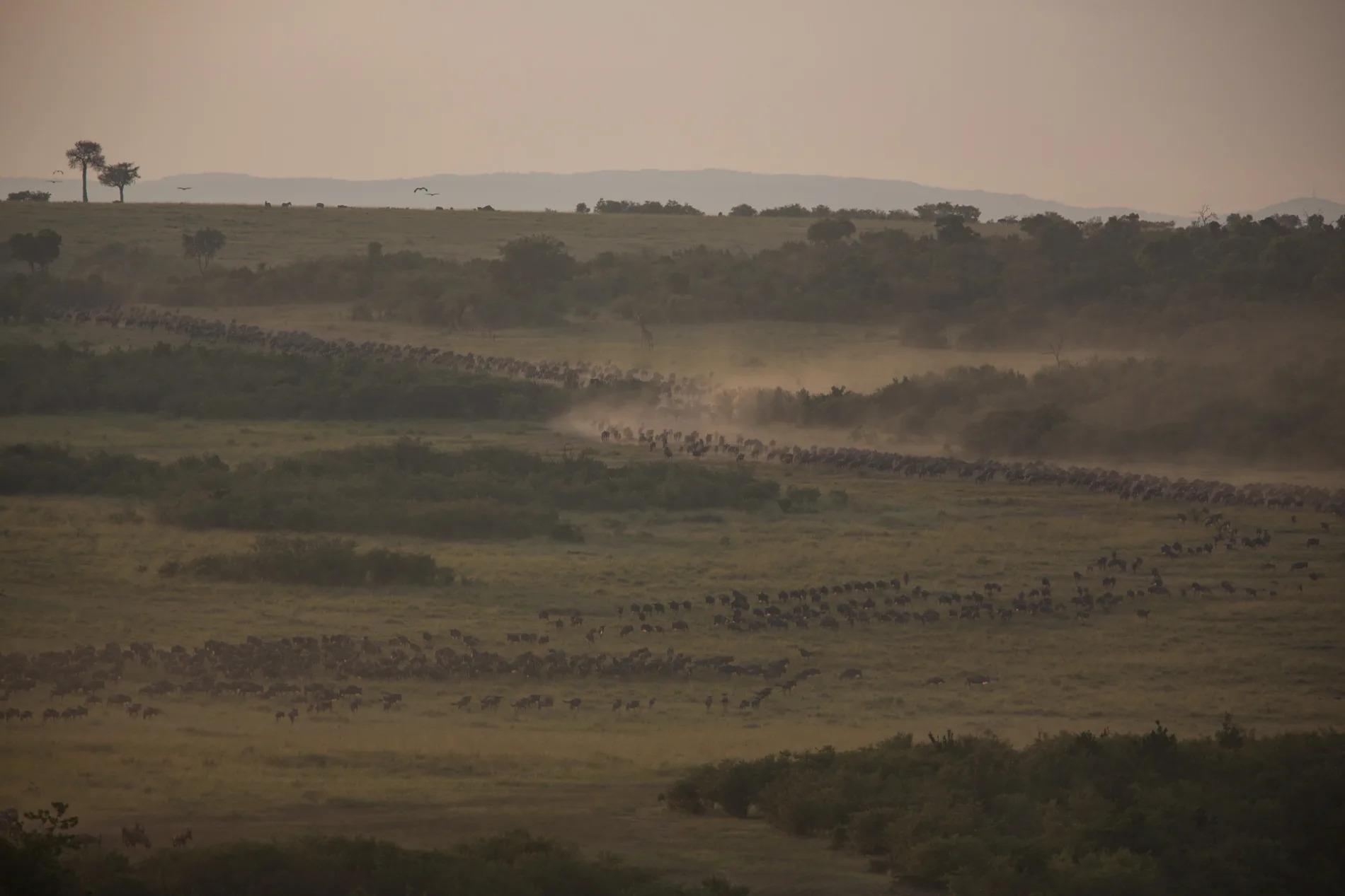 Wildebeest making their way