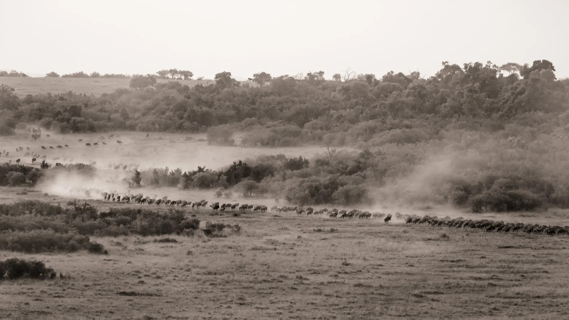 wildebeest coming black and white