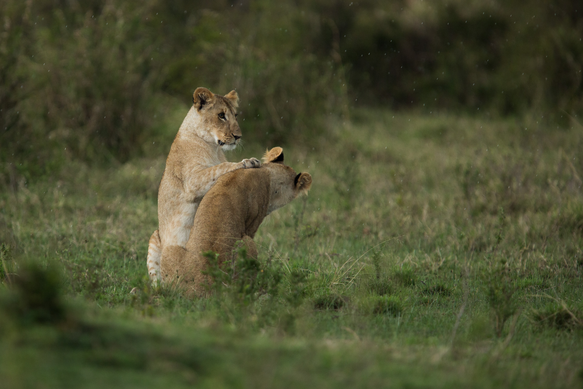 Lioness playing