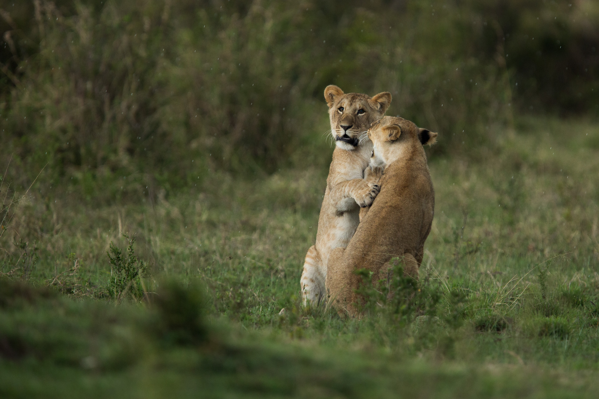 More of the lionesses playing