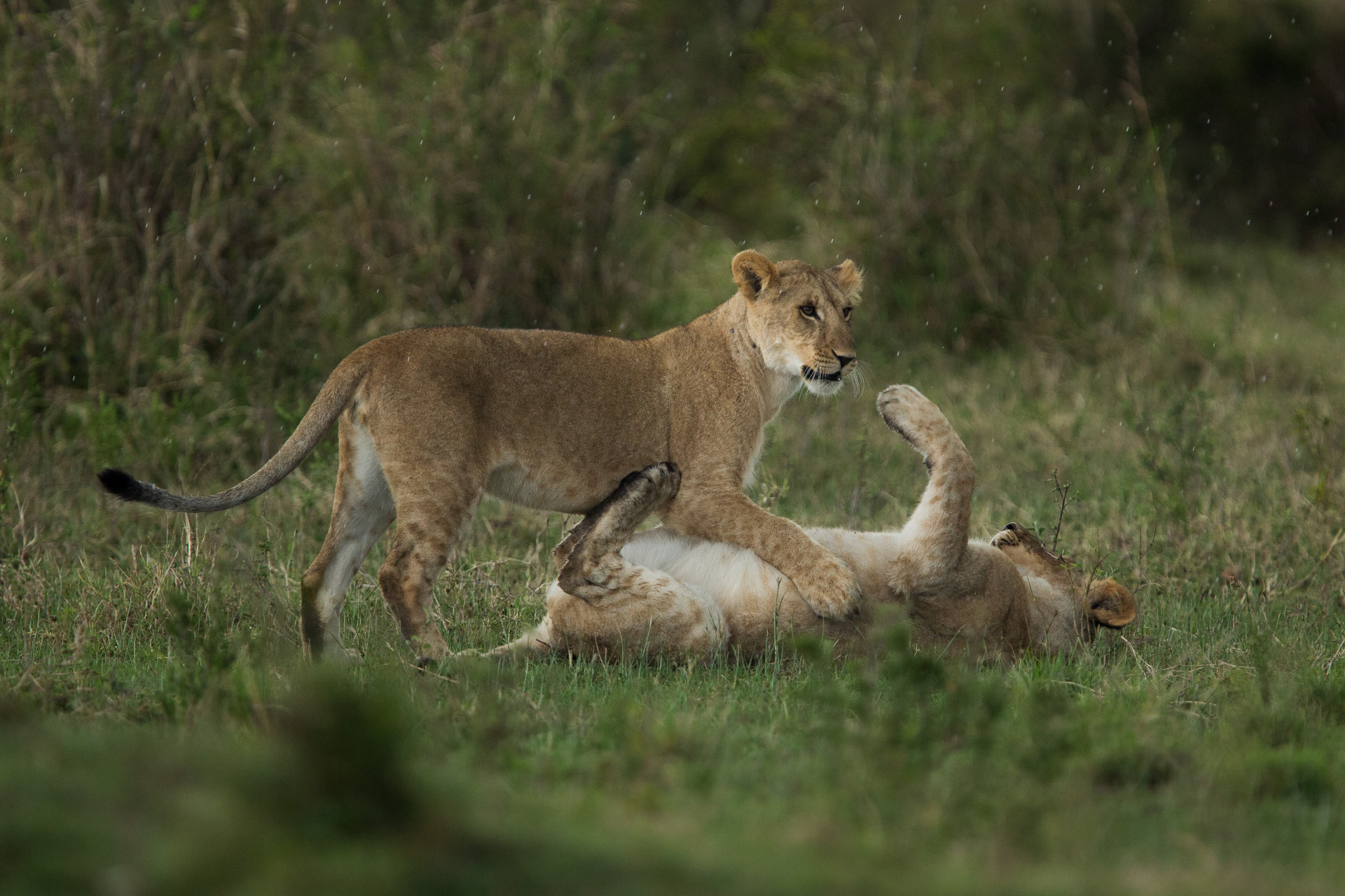 Lionesses playing