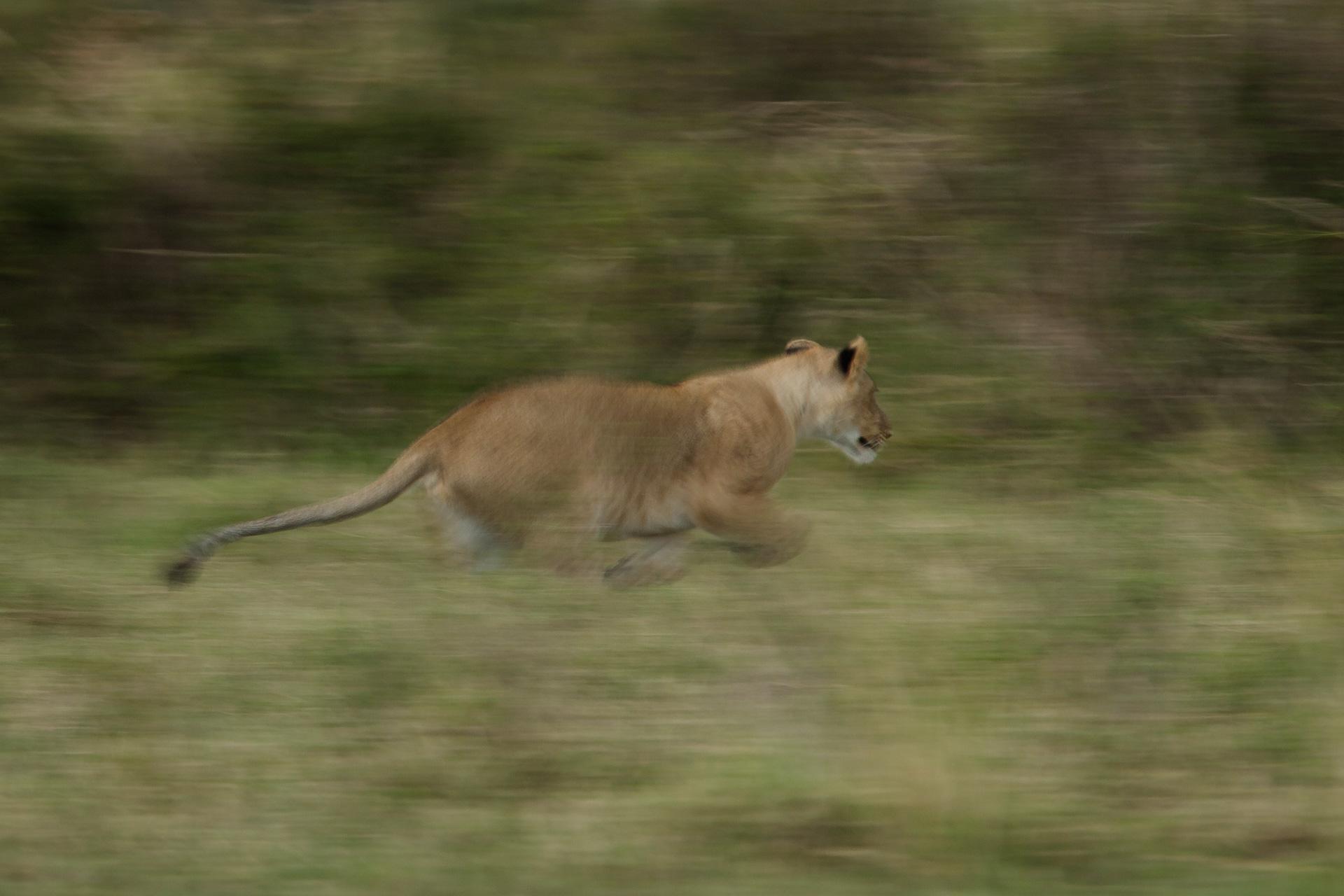 Lion blur
