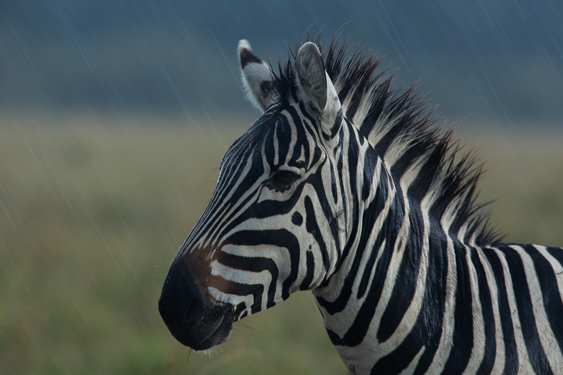 zebra in the rain